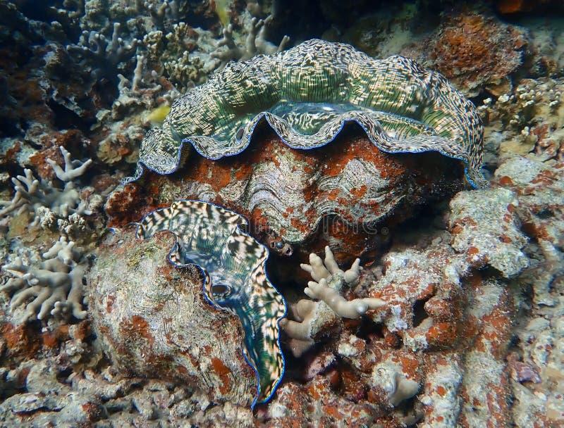 形状颜色和纹理在两个巨型蛤蜊在珊瑚礁 库存图片