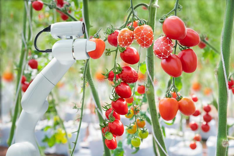 影像处理技术是适用与机器人于使用于收获蕃茄在农业产业 免版税库存照片