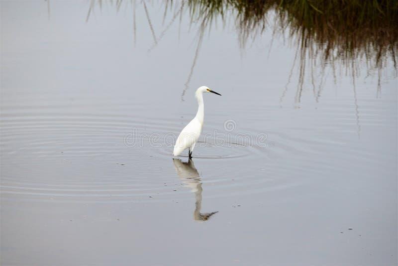 当它寻找牺牲者,一只白鹭在林荫道路水反射 免版税图库摄影
