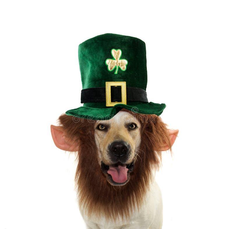 圣帕特里克狗,戴有滑稽的胡子的滑稽的拉布拉多猎犬一个绿色LEPRECHAUM帽子 在白色背景的被隔绝的射击 免版税库存图片