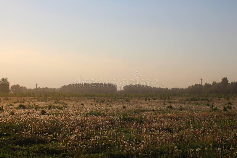 在一个大领域的背景的日落用开花的蒲公英和森林 库存照片