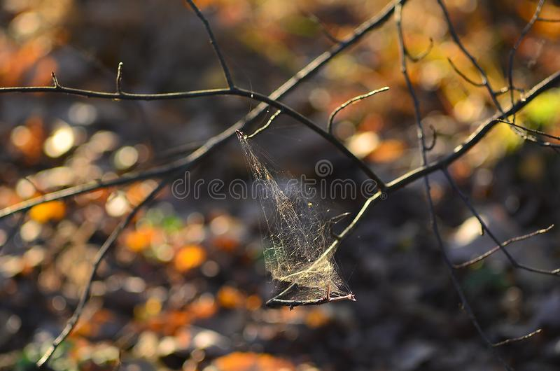 在一个干分支的蜘蛛网 免版税库存照片