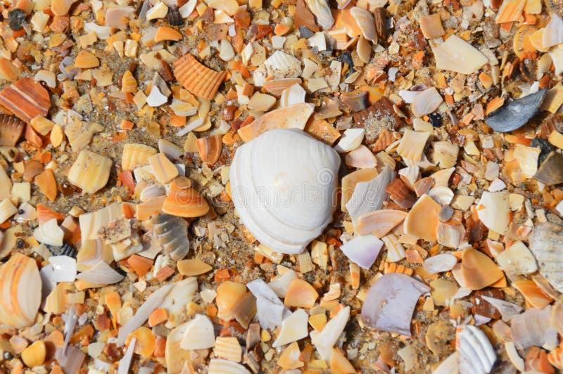 在一个海滩的壳在比利时机智其他石头 免版税库存照片
