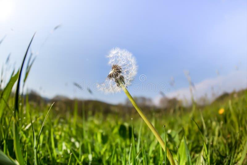 在一个绿色草甸,深刻的透视的一个蒲公英 库存照片