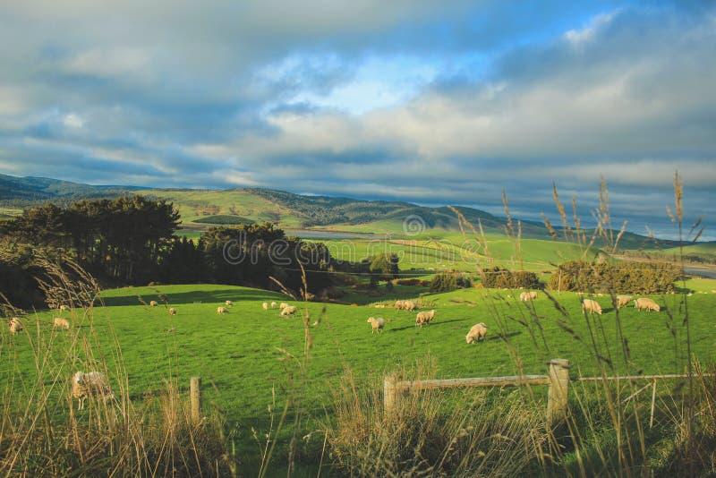 在一个绿色领域的绵羊在日落,南岛,新西兰期间的倾斜点 免版税库存照片