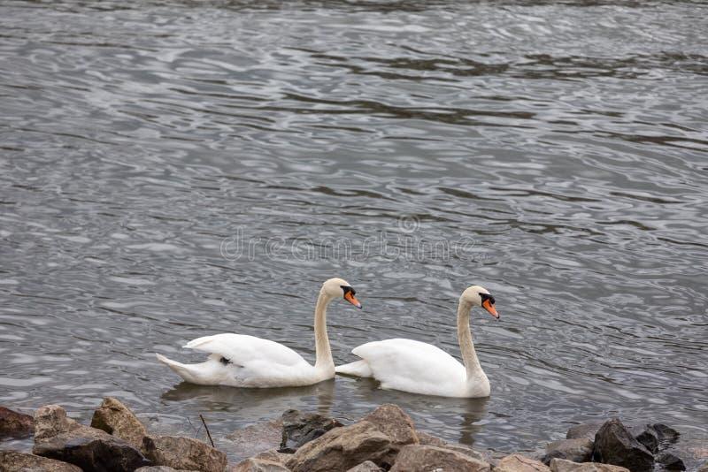 在一个蓝色湖的白色天鹅 与家庭的美丽的白色天鹅在天鹅湖 图库摄影