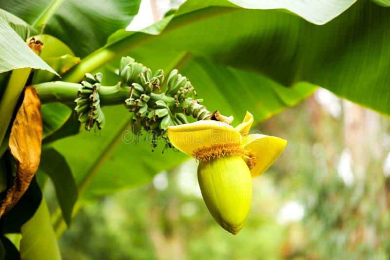 在一个香蕉的大花本质上 库存照片