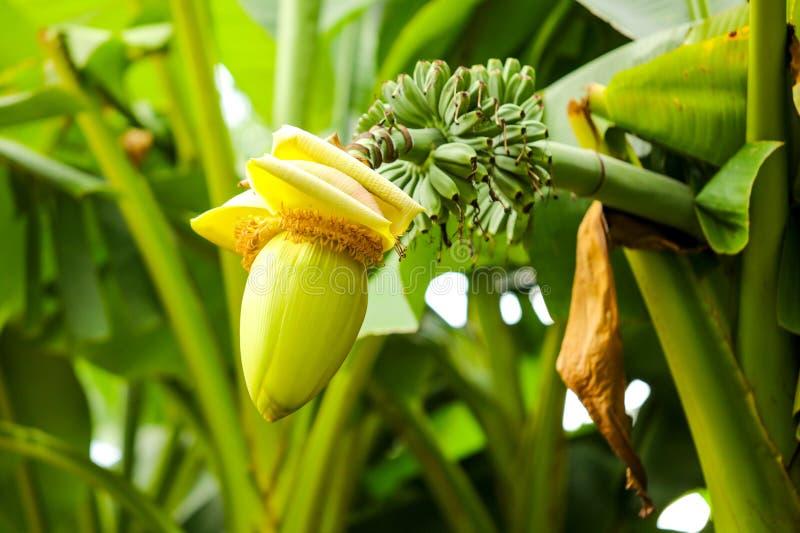 在一个香蕉的大花本质上 免版税库存照片