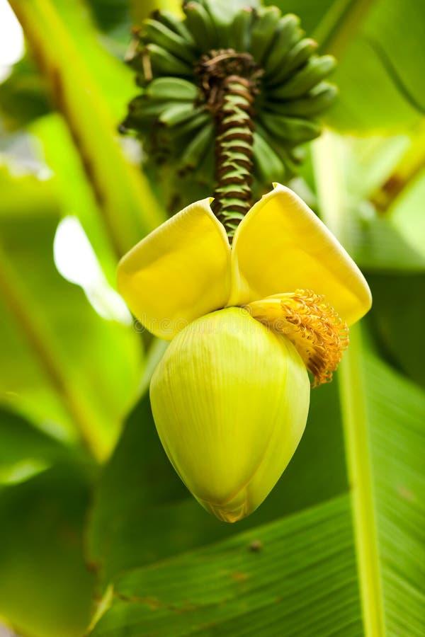 在一个香蕉的大花本质上 图库摄影