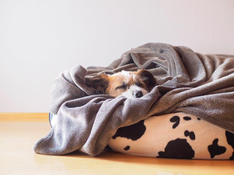 在一个黑白色装豆子小布袋的小犬座 图库摄影