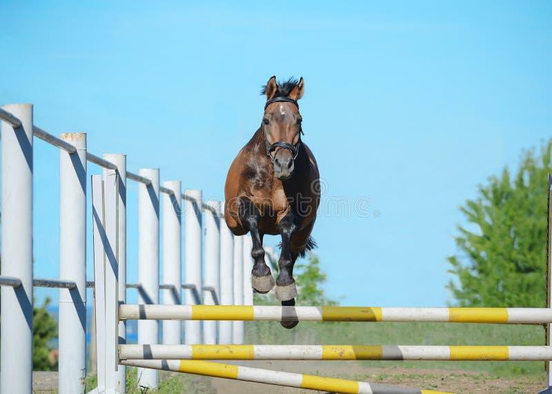 在一个障碍的棕色trakehner体育马不用支撑的跳过器械在天空背景 正面图 库存图片
