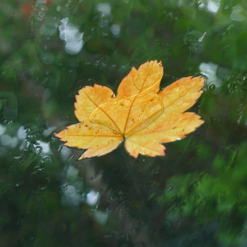 在一块车窗玻璃的黄色叶子在雨中 免版税库存照片
