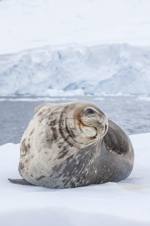 在一座冰山的Weddell封印在南极半岛 库存照片