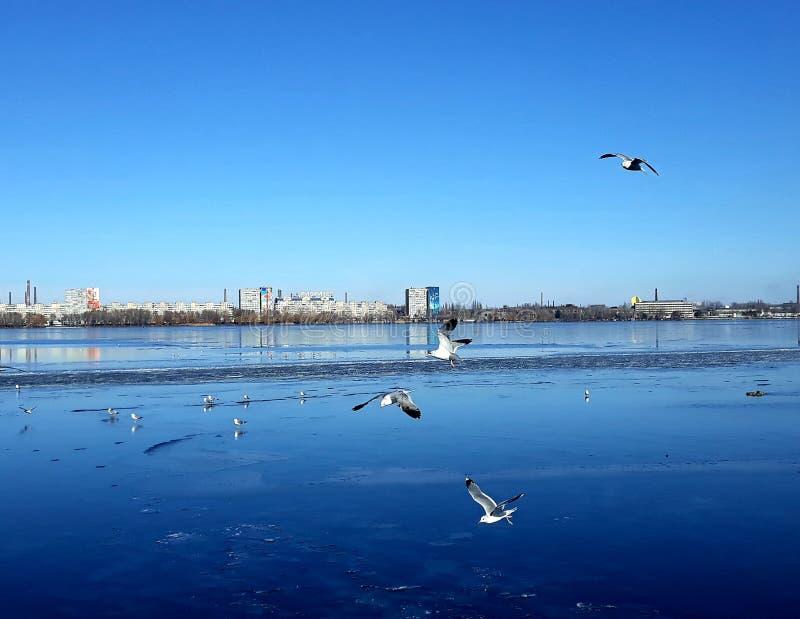 在一条宽冻河的冰的分泌乳汁鸟:鸽子,鸭子,在距离的鸥 图库摄影