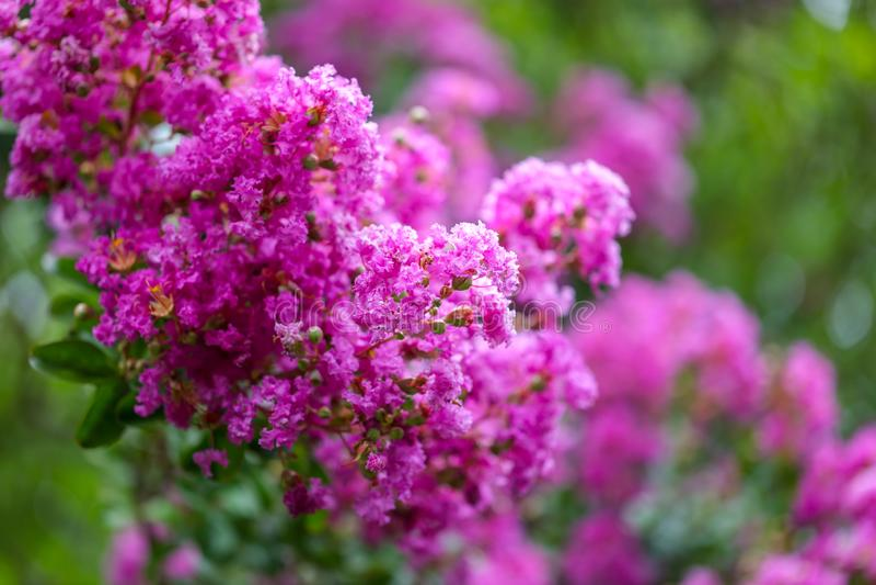 在一棵树的美丽的桃红色花在公园 库存图片