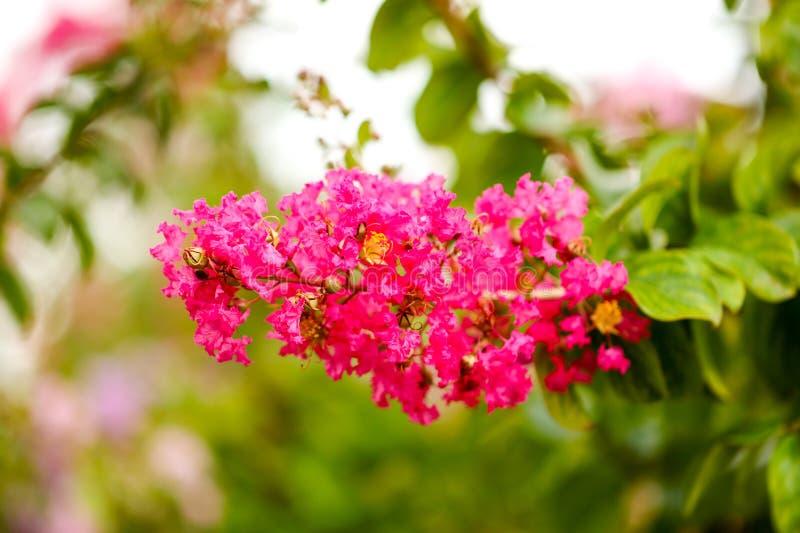 在一棵树的美丽的桃红色花在公园 免版税库存照片