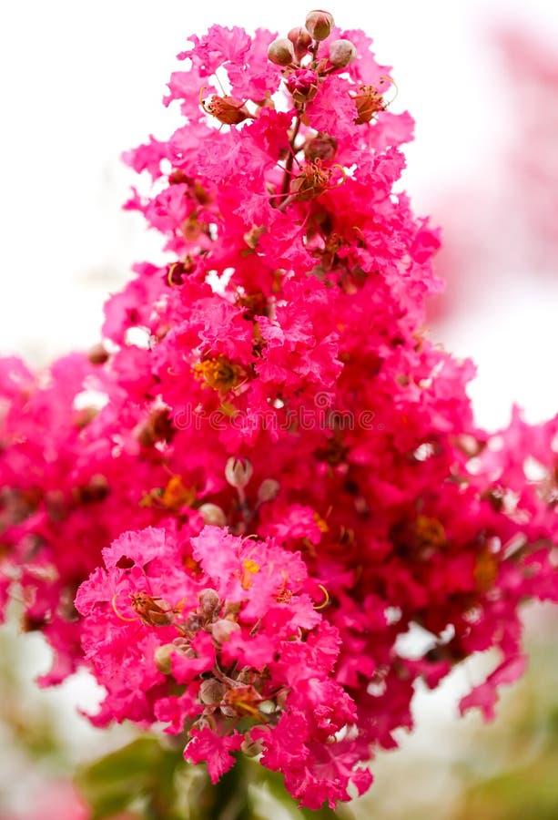 在一棵树的美丽的桃红色花在公园 免版税库存图片