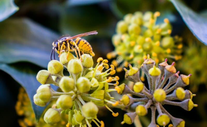 在一朵黄色花的蜂 图库摄影