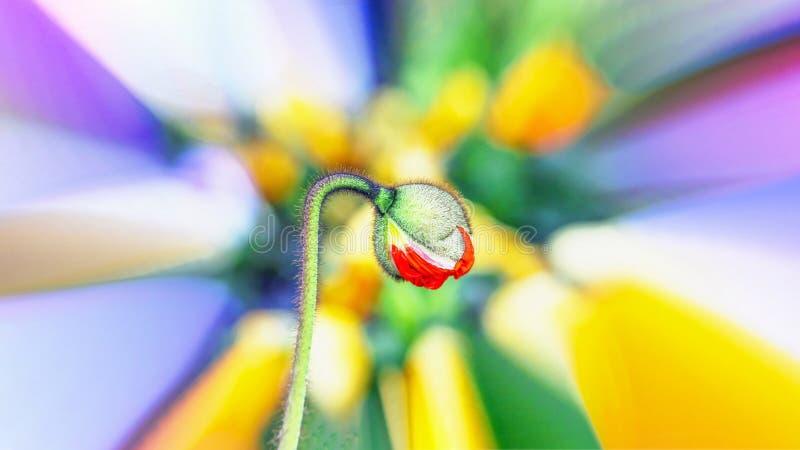 在五颜六色的花背景的美丽的红色鸦片芽 万花筒作用 16:9 免版税库存照片