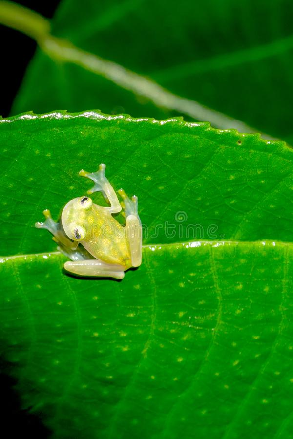在叶子的网状的玻璃青蛙 库存图片
