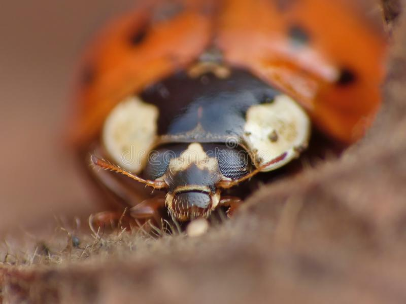 在叶子的瓢虫 免版税库存图片