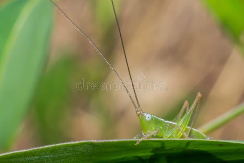 在叶子,宏观昆虫的绿色蚂蚱本质上 库存照片
