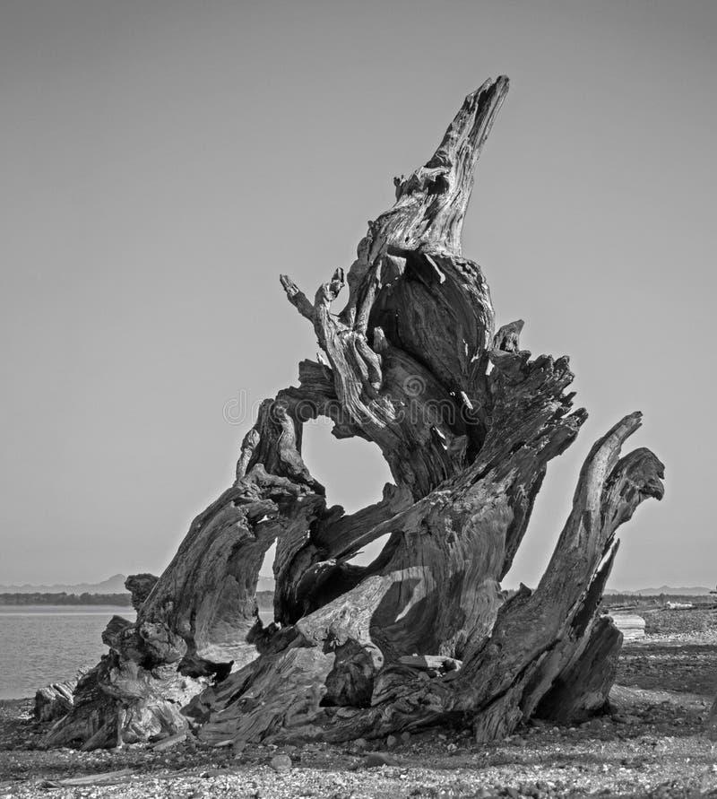 在向天空指向的岸的黑白漂流木头 免版税库存照片