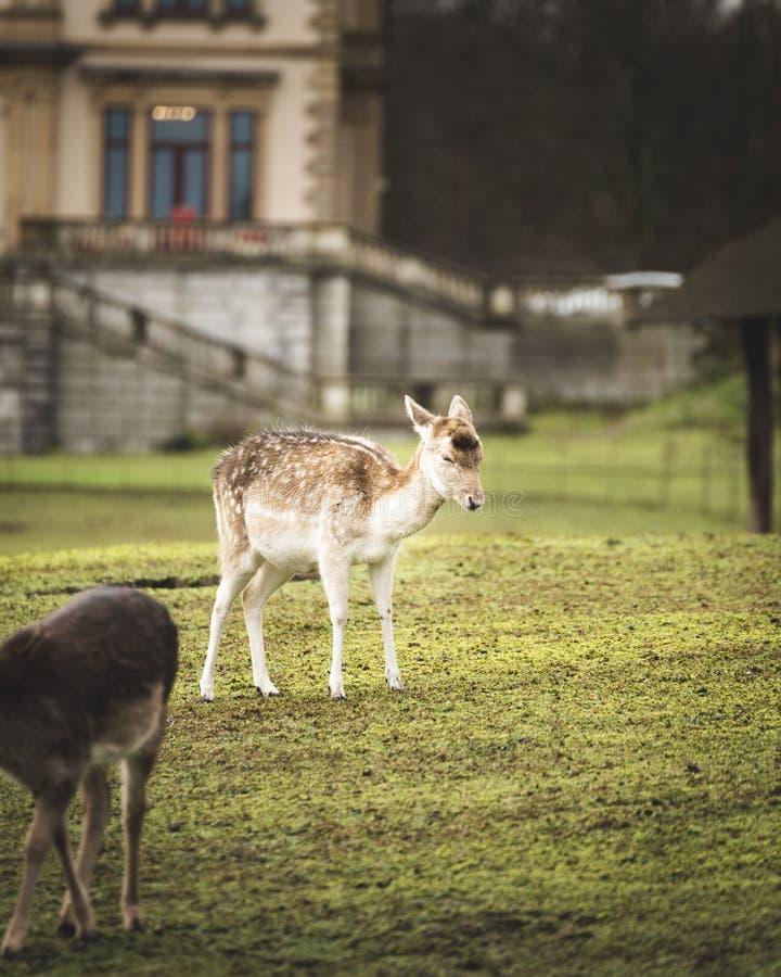在大厦前面的幼小鹿 图库摄影
