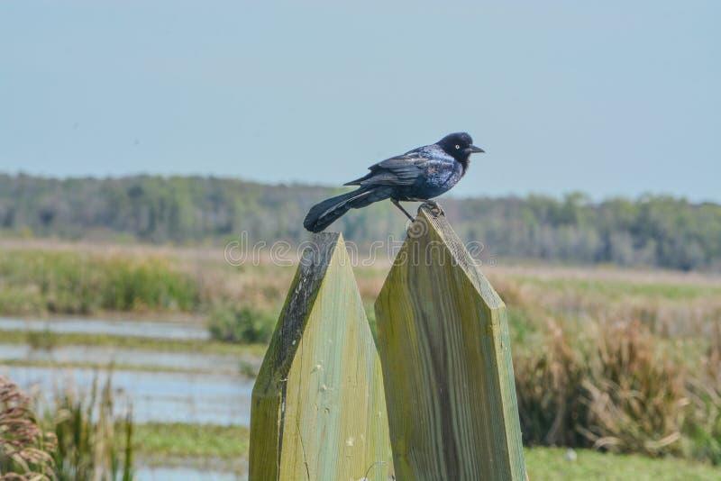 在大草原全国野生生物保护区的共同的Grackle黑鹂 哈迪维尔,杰斯帕县,南卡罗来纳,美国 免版税库存图片