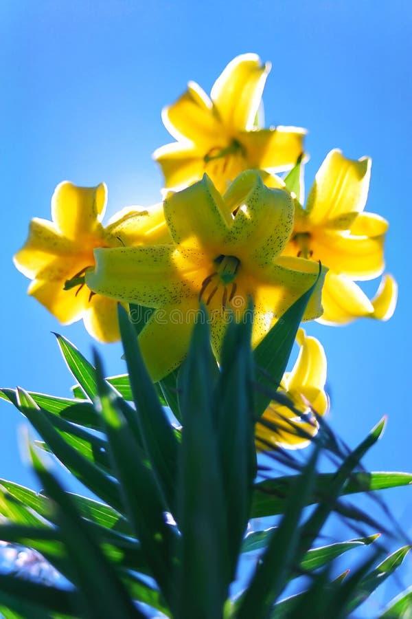 在天空蔚蓝背景垂直的关闭的美丽的黄色开花的百合花百合属植物kesselringianum看法 库存图片