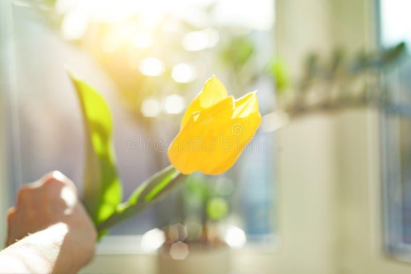 在女性手背景天空蔚蓝和日落,春天节日的一花黄色郁金香 库存图片