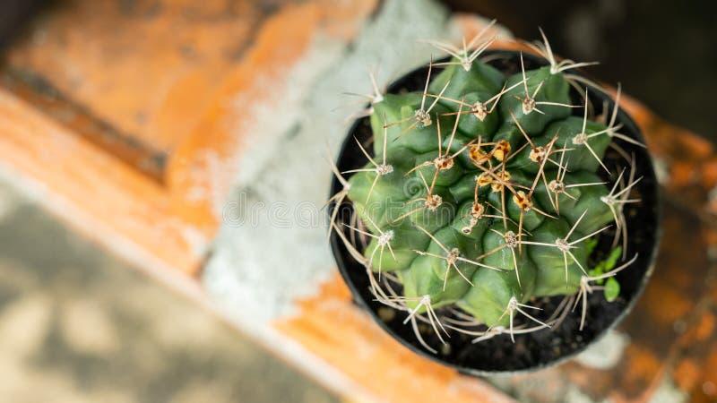 在家庭菜园的微型仙人掌 库存例证