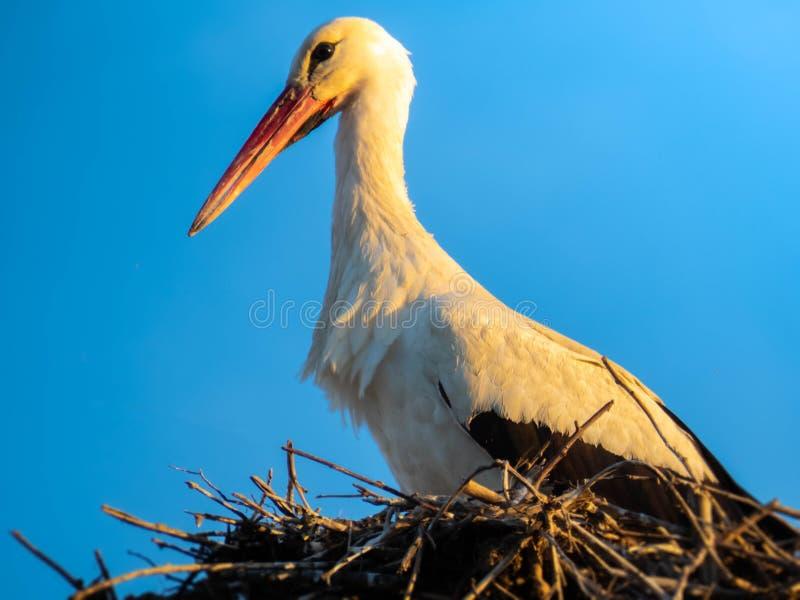 在它的巢关闭的鹳 免版税库存照片
