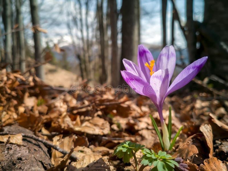 在山森林新鲜的美丽的紫色番红花花的番红花幼芽花开花 开花的番红花在早期的春天 首先 库存照片
