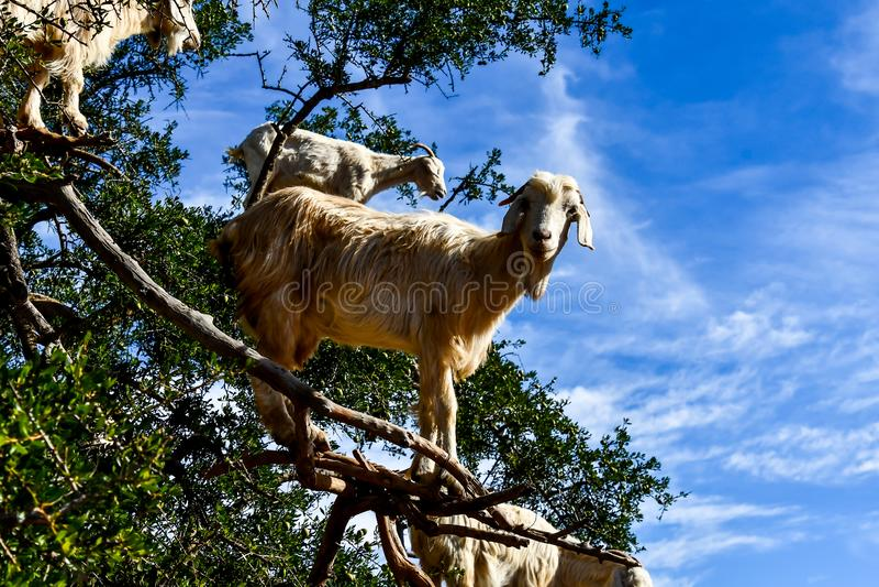 在山,作为背景的照片顶部的山羊 免版税库存照片