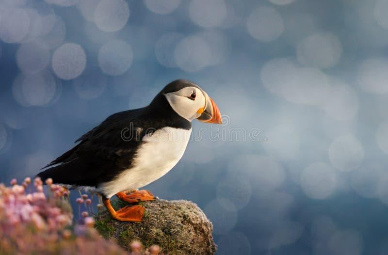 在岸的大西洋海鹦身分在诺斯岛海岛上 库存图片