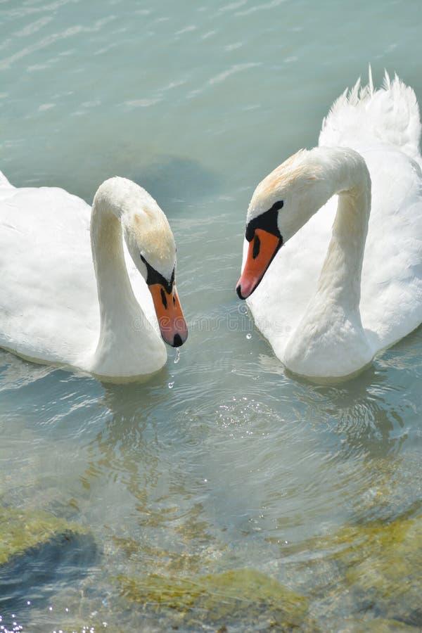 在巴拉顿湖的天鹅夫妇 免版税库存照片