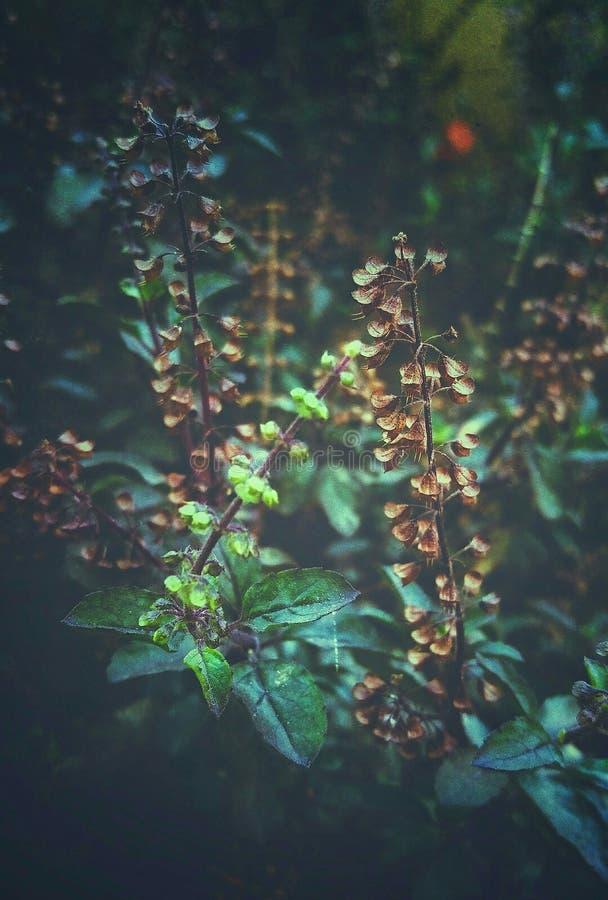 在干燥和新鲜的蓬蒿花之间的一个美好的对比 免版税库存图片