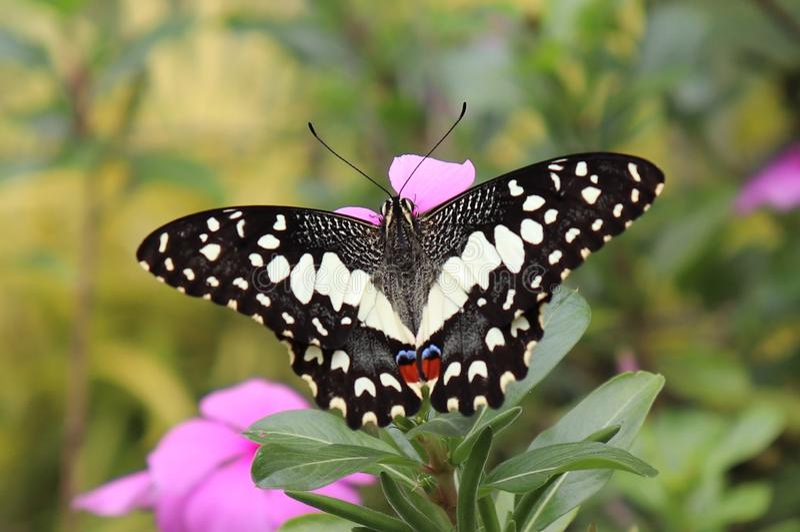 在庭院里吮花精华的蝴蝶 库存图片