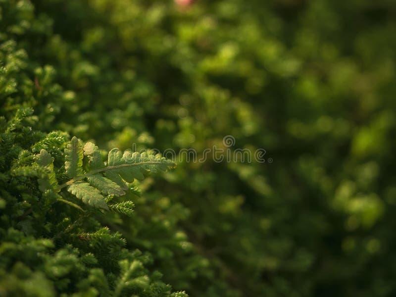 在地板上的美丽的绿色青苔,青苔特写镜头,宏指令 青苔美好的背景墙纸的 库存图片
