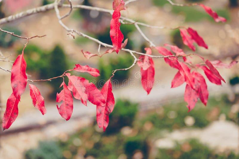 在分支的红色叶子 库存图片