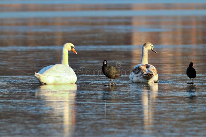 在冰冷的湖的共同的老傻瓜 图库摄影