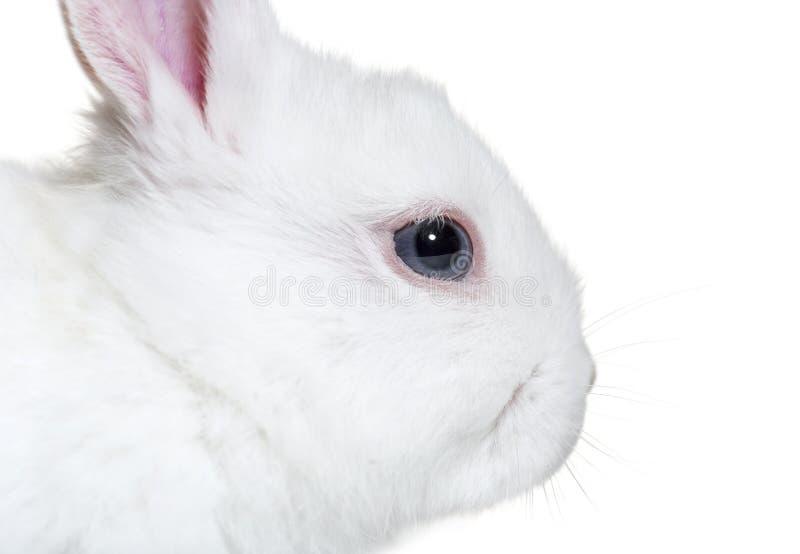 在关闭的兔子,8个星期年纪,在白色背景前面 免版税图库摄影