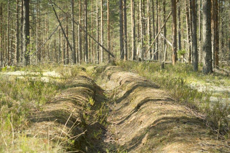 在杉木森林预防措施的火垄沟保护森林免受火 库存照片