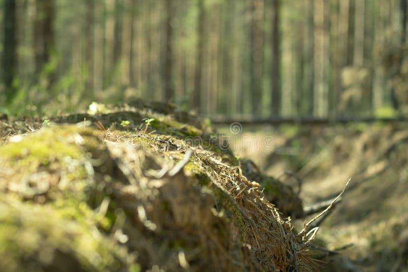 在杉木森林预防措施的火垄沟保护森林免受火 免版税图库摄影