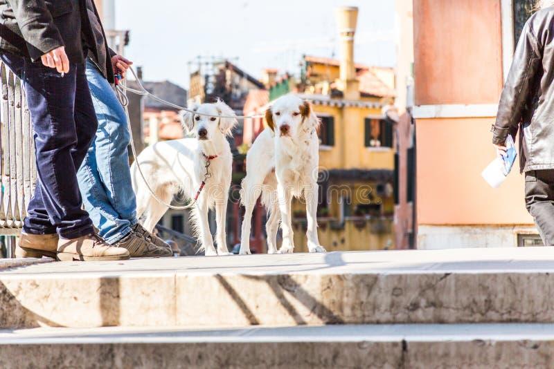 在桥梁的两条狗 库存图片