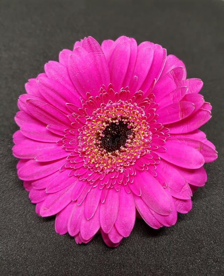 在桃红色的大丁草花在黑背景 大丁草开花特写镜头  库存照片