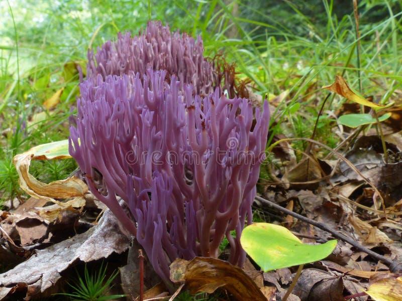 在森林地板上的紫色真菌 免版税库存图片