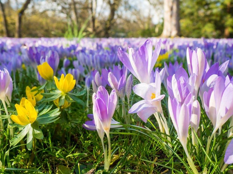 在植物群的紫罗兰色花在科隆,德国,是第一棵开花的植物在春天 库存图片