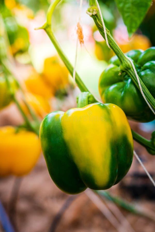 在植物的甜椒 免版税库存图片